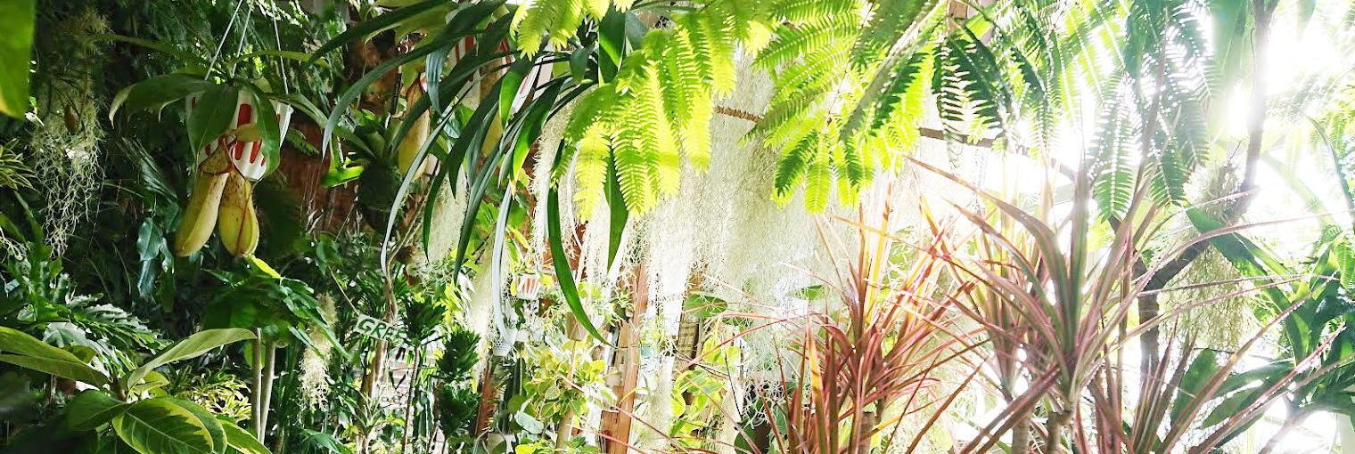 サンスベリア・キルキープルクラ・カッパートーン